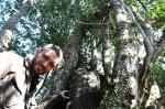 60 year old Agarwood tree - Single Tree Harvest Alert