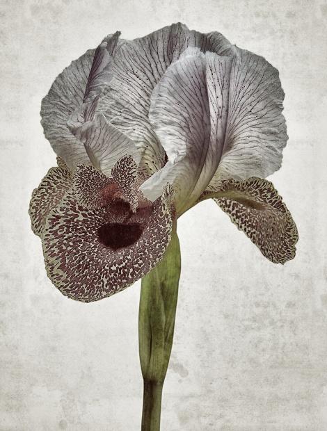 Iris Nazarena Aedes de Venustas
