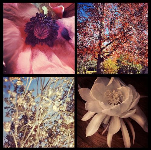 grandiflora sydney saskia the fragrant man thefragrantman orchid poppy