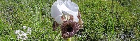 Iris Nazarena