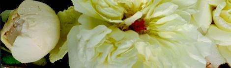 magnolia thefragrantman the fragrant man