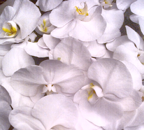 grandiflora sydney saskia the fragrant man thefragrantman orchids