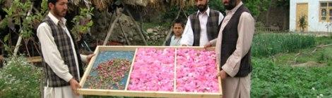 noble rose of afghanistan 7 virtues