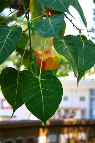 The heart shaped leaves of the Bodhi tree