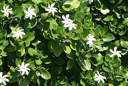 Tiare, the Tahitian Gardenia.