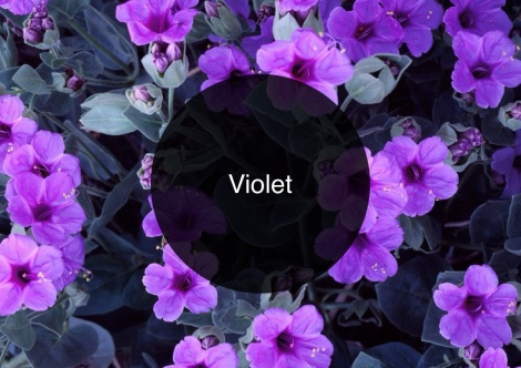 Click the image to read The Candy Perfume Boy's Guide to Violet